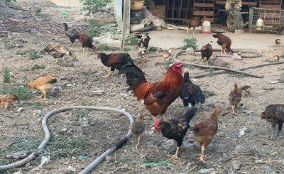 Bệnh giun đũa ở gà – biểu hiện và cách điều trị