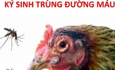 Bệnh ký sinh trùng đường máu ở gà
