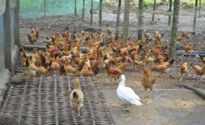 Bí quyết nuôi gà thả vườn thịt ngon, chất lượng