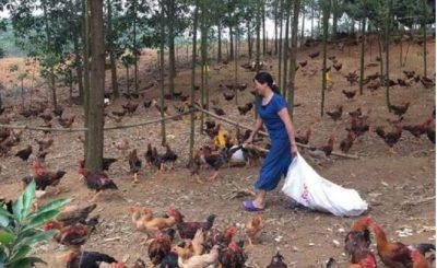 Giá gà thịt tại các địa phương vẫn chưa có sự khởi sắc