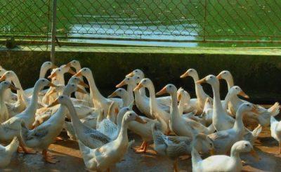 Mô hình chăn nuôi vịt sinh sản
