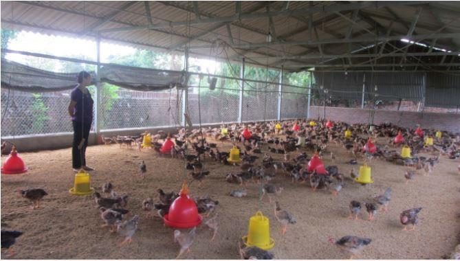 Trại nuôi gà an toàn sinh học của anh Sáu.
