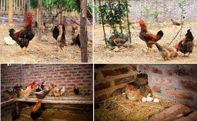 Chia sẻ kinh nghiệm làm chuồng nuôi gà lấy thịt và lấy trứng