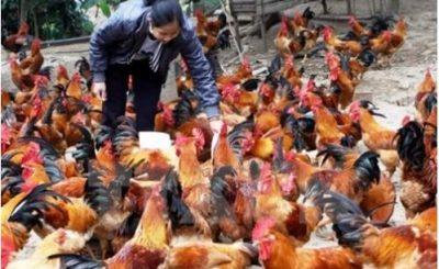 Nhiều hộ dân chăn nuôi gà