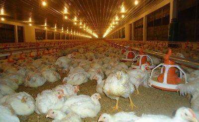 Hướng dẫn làm chuồng nuôi gà thịt giúp bạn mang lại hiệu quả cao nhất