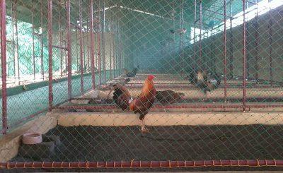 Hướng dẫn làm chuồng trại nuôi gà thịt bằng lưới với chi phí rẻ