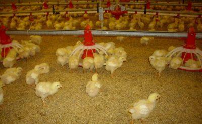 tăng đề kháng cho gà con