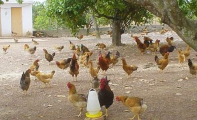 Nút thắt đầu ra cho gà thả vườn