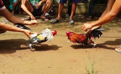 Kinh nghiệm nuôi gà chọi thu lại tiền tỉ của chàng thanh niên trẻ tuổi