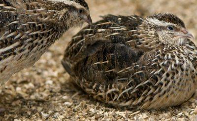 chim cút thịt