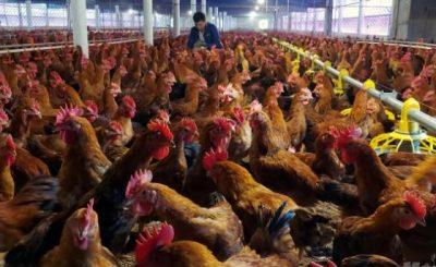 Nhờ nuôi gà mía an toàn sinh học, mỗi năm, gia đình ông Nguyễn Quang Vinh tại thôn 2, xã Quý Lộc (Yên Định, Thanh Hóa) lãi ròng 500-600 triệu đồng.