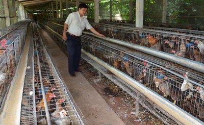Mô hình nuôi gà tre lấy thịt của hộ dân ở Tiền Giang mang lại thu nhập cao