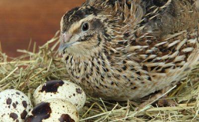 Nguyên nhân và cách phong tránh bệnh Newcastle ở chim cút