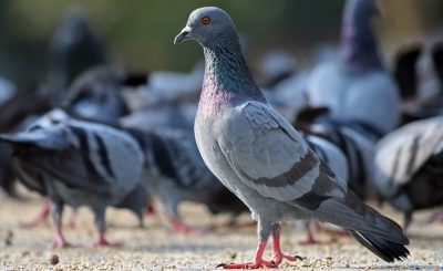 Newcastle, căn bệnh khá nguy hiểm trên chim bồ câu