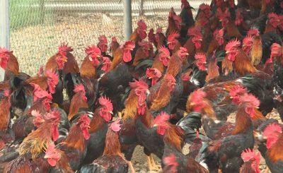 Bệnh ăn không tiêu ở gà