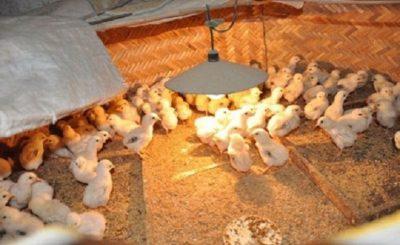Quy trình chăm sóc đạt chuẩn cho gà chọi con mới nở phát triển tốt