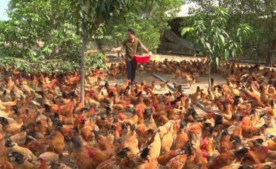 Top 7 mô hình chuồng trại nuôi gà thịt mang lại lợi nhuận cho các vùng quê